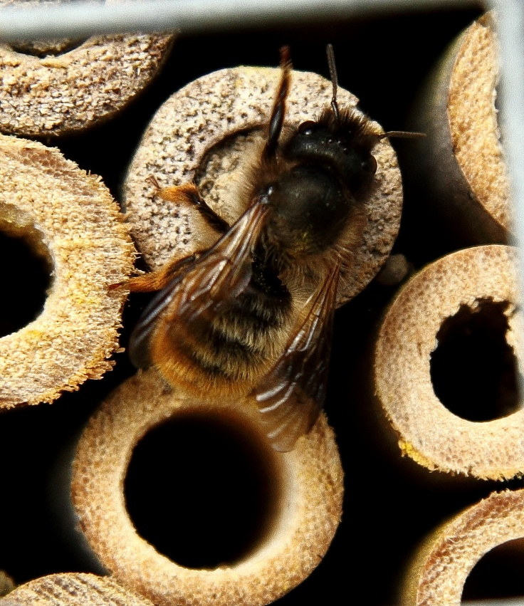 Mason Bee on the end of cane..... probably sealing up the end with mud.  She has been pollinating hundreds of plants in the process.
