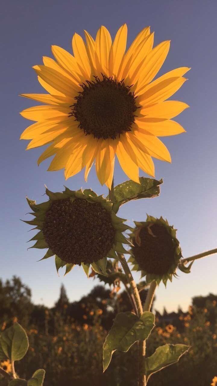 Sunflowers On Twitter In 2020 Schone Hintergrund Bilder Bildschirmschoner Sonnenblumen Tapete