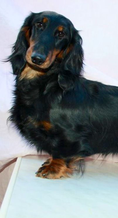 My next dachshund will be long haired.
