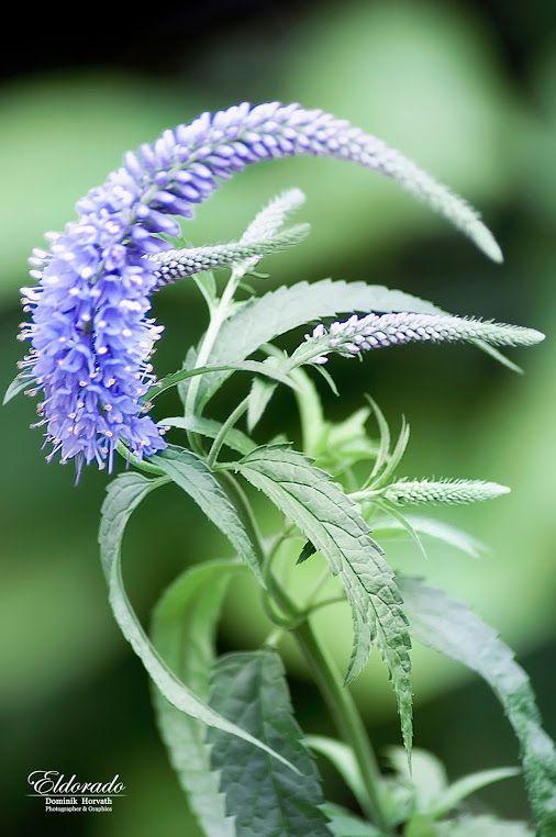 V zahradě .. / In the Garden .. #eldoradothemeart  #flowers #purple +HQSP…