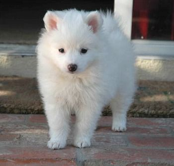 Low-to medium-size Nordic-type dog small, American eskimo dog known to be ready for the bright white coat, jet black points (lips, nose and eye rims) and erect triangular ears.