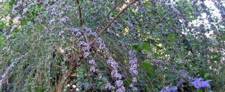 Buddleja alternifolia by mgarr
