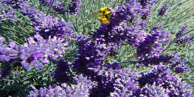 Conheça todo o potencial da Alfazema na sua horta.