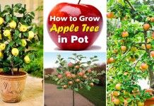 Growing Apple Trees in Pots | How to Grow apple tree in a Container & Care