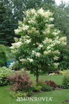 Ivory Silk Japanese Tree Lilac. Beautiful creamy-white blooms with a captivating fragrance spring through summer. A small tree or large shrub that forms a rounded crown with rich green foliage on attractive reddish-brown bark. Makes a perfect accent or background plant. Deciduous. zone 4-7. Early summer blooming. moon garden.