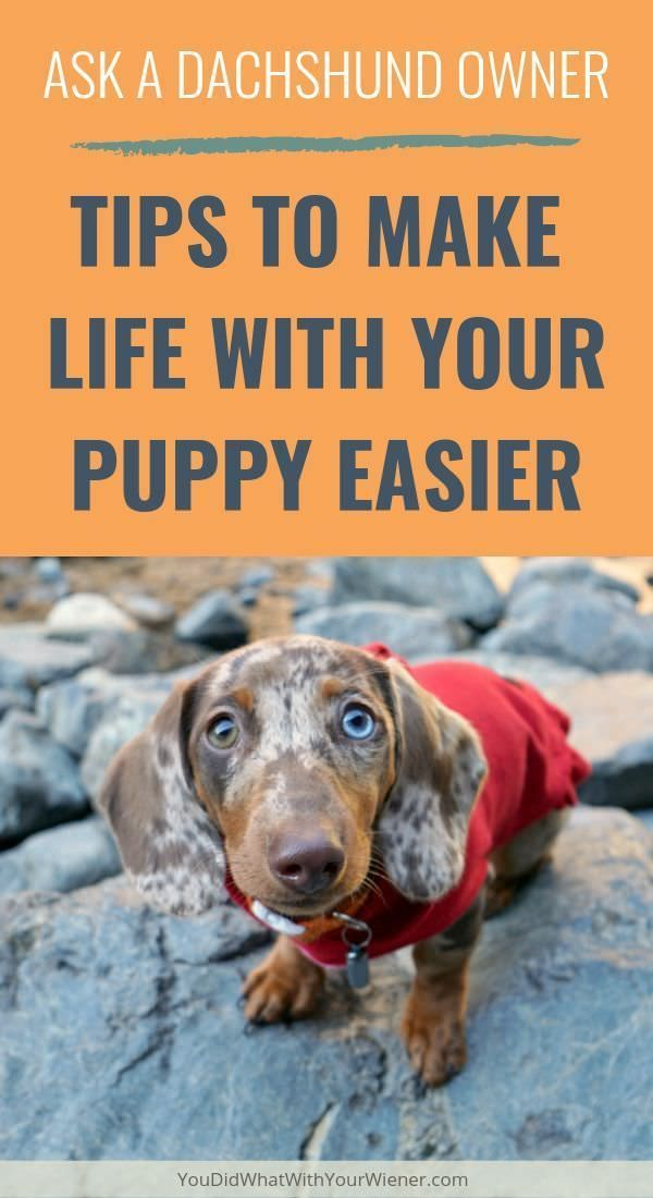 Dachshund Owners Answer 50 Tips To Make Life With Your New Puppy