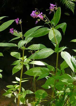 Jättipalsami, Impatiens glandulifera - Kukkakasvit - LuontoPortti