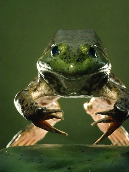 American bullfrogs will ambush and eat just about anything they can fit in their ample mouths.Покана...