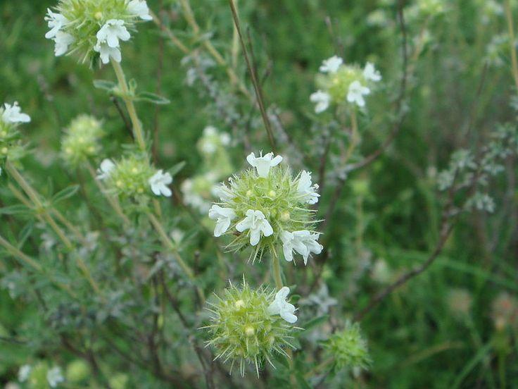 File:Thymus mastichina 2.JPG