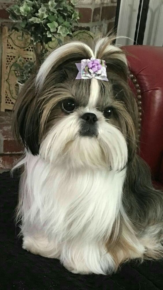 Shih Tzu - Tap the pin for the most adorable pawtastic fur baby apparel! You'll love the dog clothes and cat clothes! <3