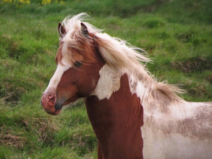 Painting My World: Iceland: Through the Eye's of an Artist part 13 The Icelandic Horse