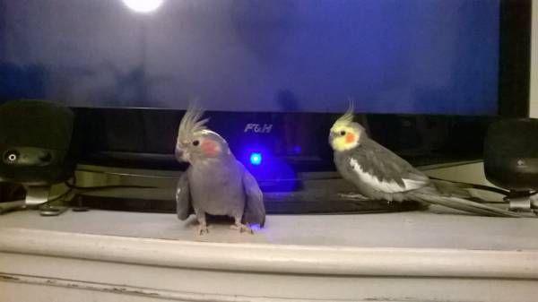 LOST COCKATIEL: 01/01/2017 - Burscough, Lancashire, England, United Kingdom. Ref#: L28014 - #ParrotAlert #LostBird #LostParrot #MissingBird #MissingParrot #LostCockatiel #MissingCockatiel