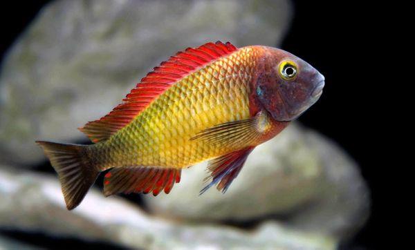 Tropheus Moori Cichlid Fish Pinterest Search