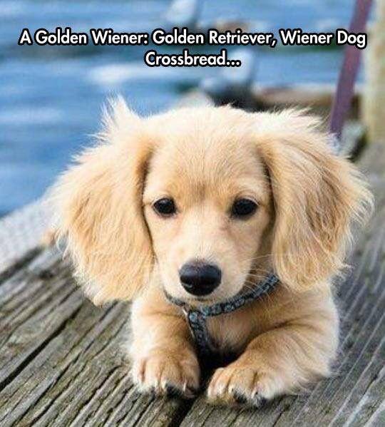 A Golden Wiener: Golden Retriever, Wiener Dog Crossbreed....