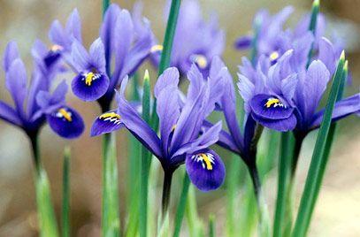 RHS Plant Selector Iris reticulata / RHS Gardening