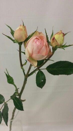 Rose - Piano