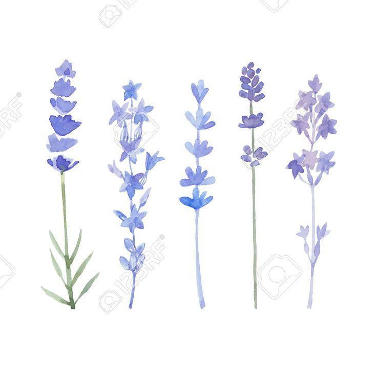 Aquarell Lavendel Set Lavendelblumen Lokalisiert Auf Einem Weissen