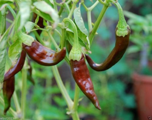 Aji Panca, ,30 Seeds (Capsicum chinense) Aji Brown ,Peruvian Heirloom Pepper
