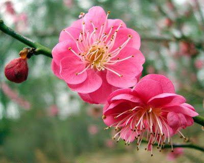 Flower Homes: Prunus mume Flowers