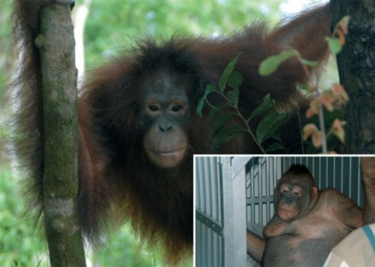 """PETITION and article and video. Pony the Orangutan was found by the Orangutan Survival Foundation in a """"prostitute village"""" in Borneo, chained to a wall and lying on a jizz-stained mattress. She was completely shaved and covered with infected mosquito bites. Please sign and share. posted 10 18 2012"""