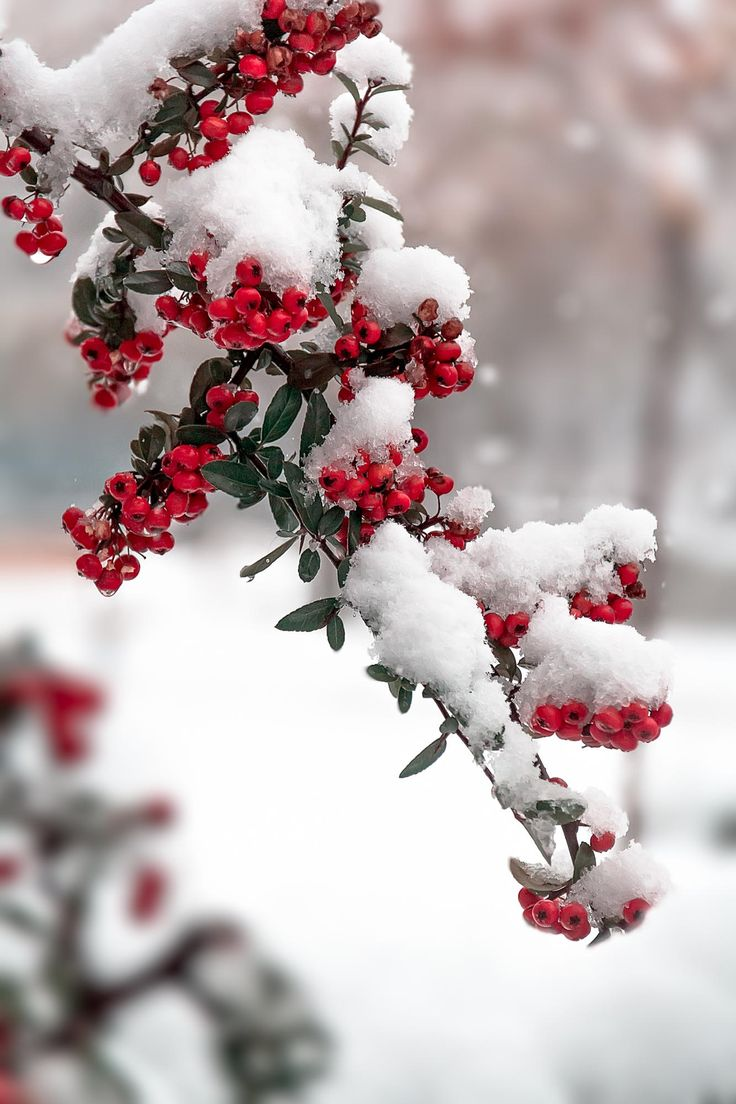Berries in the snow… Winter