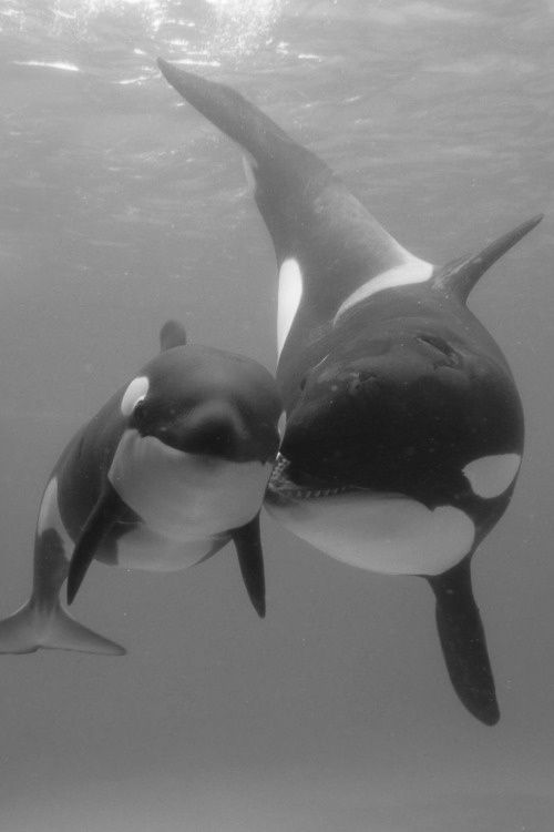 mommy and little swimmer (After seeing Blackfish I am resolved to never go to Seaworld - or even any zoo - ever again - animals belong in the wild. It is terribly cruel to keep them confined for our viewing pleasure. Period.)