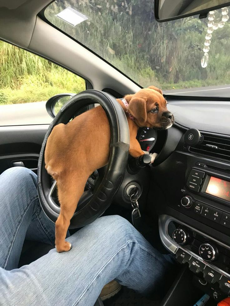 My little #boxer #sugar driving