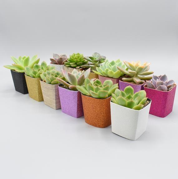 42 Assorted 2″ Pot Succulents – Wedding favors – Bridal shower favors – Party favors – Baby shower favors – Live succulent arrangements