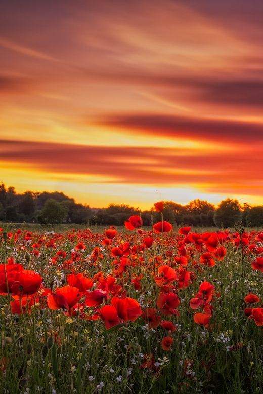 poppy fields of Worcestershire, England, by Verity Milligan, on 500px.