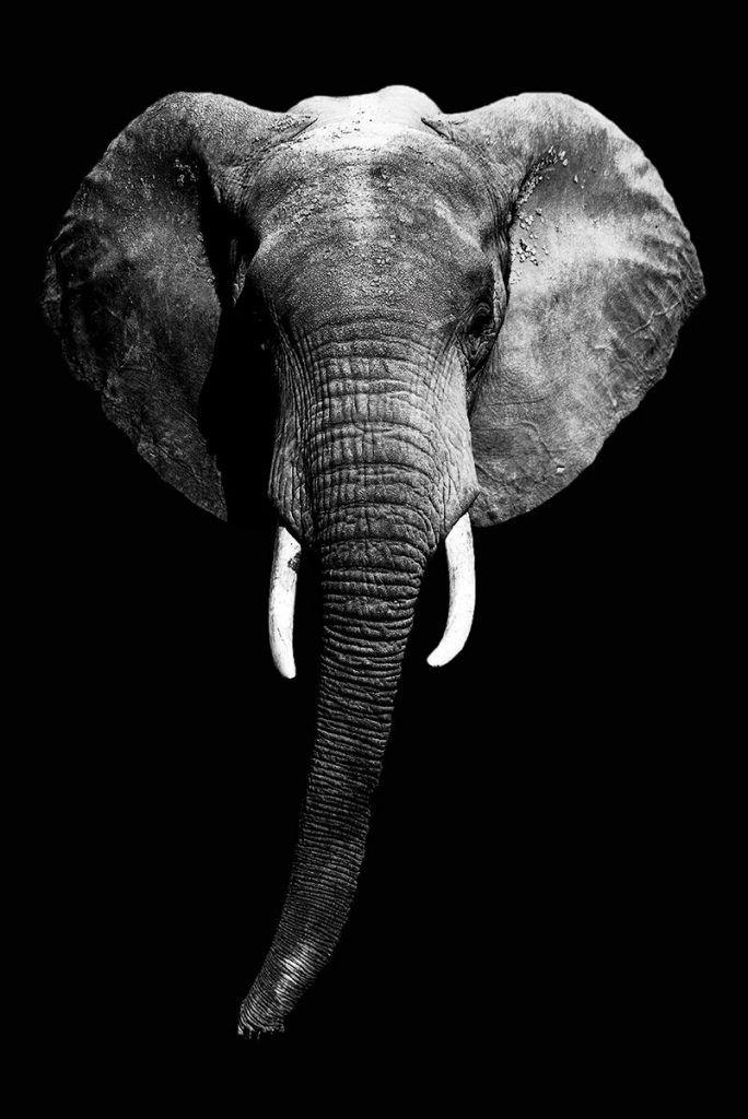 Olifant Poster Zwart Wit Posterjunkie Olifant Behang Olifant Schilderij Zwart Wit