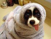 duş almış komik köpek - Masaüstü Resimleri Duvar Resimleri Duvar Kağıtları