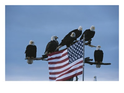 A Group of Northern American Bald Eagles Sit on a Trees Sparse Perches: Trees Spar, Blessed America, American Bald, American Flags, Northern American, Eagles Sit, God Blessed, Eagles Collection, Bald Eagles