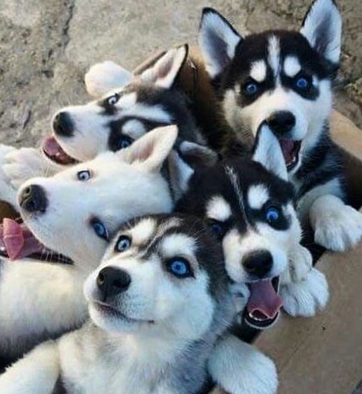 Visit Myhappyhusky For Husky Advice Boss Husky Puppy Cute