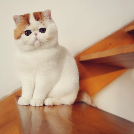 Snoopy Cat For Sale