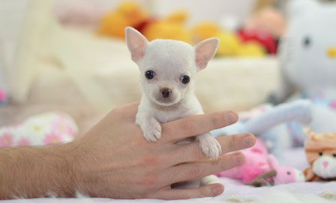 This is Willow, a beautiful Teacup Chihuahua puppy. View