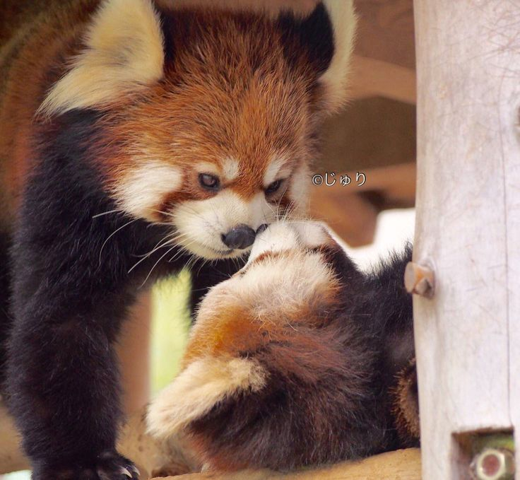 Assez 480 best Red Panda images on Pinterest | Red pandas, Red and Baby  EX76