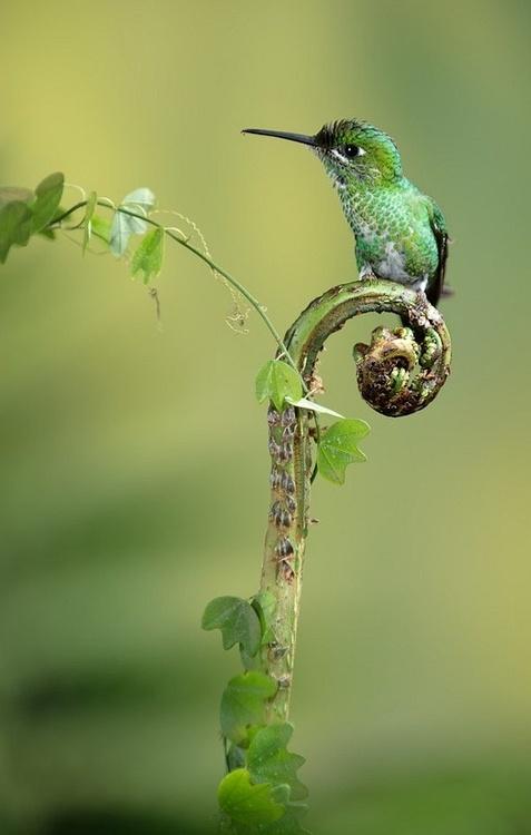 green hummingbird on a fern spiral