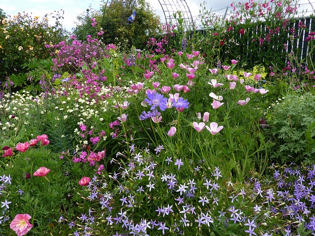 Cal Poppy 'Purple Gleam' & Scabiosa 'Fama' by anniesannuals, via Flickr