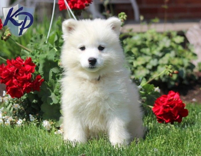 pomeranian samoyed mix best 25 samoyed puppies for sale ideas on pinterest 5843