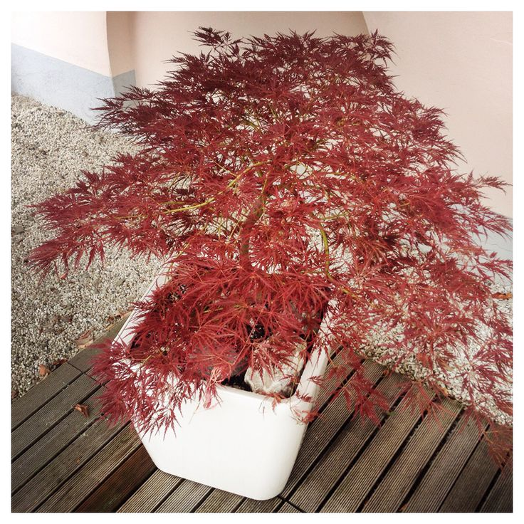 Asiatische Pflanze im Vorgarten