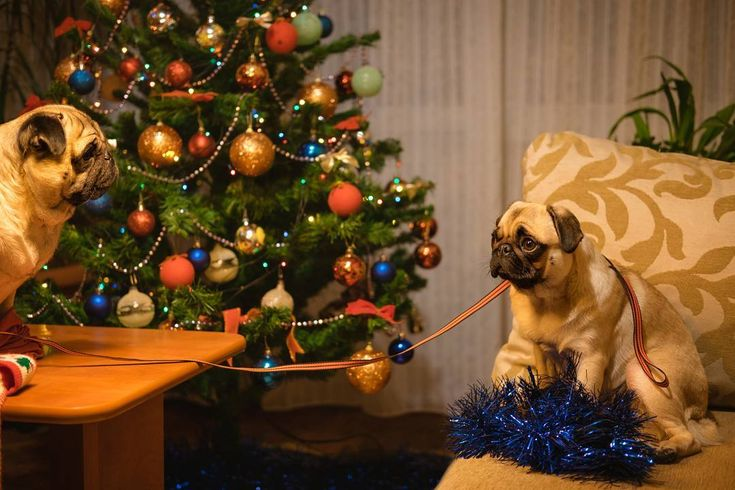 We finally finished decorating our Christmas Tree!  #mauricethepug #bubble #iulianmarcu #queenb #christmas #christmastree #decoratins #december #romania #tirgumures #puglife #pugchat #pugstory #pug #mops #dog #puppy