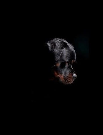 Rottweiler. Great picture.