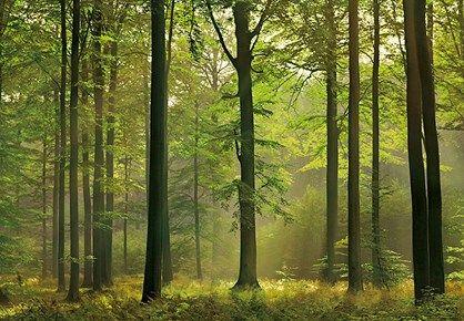 Fototapet - Misty Forest - fototapet med træer. Flot fotostat med med solen der skinner i en lysning i bøgeskoven, et billede der næsten har terapeutisk virkning.