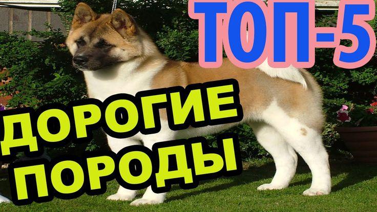 Самые ДОРОГИЕ породы собак в мире(Топ-5) - Интересное в Мире дорогие собаки, дорогие собаки мира, самые дорогие породы собак топ дорогих собак, самый дорогой собака дорогие собаки цены  5. Акита – около 4 500 долларов 4. Ротвейлер – до 6 000 долларов 3. Фараонова собака – до 6 500 долларов 2. Тибетский мастиф – до 7 000 долларов 1. Самоедская собака – от 4 000 до 10 000 долларов