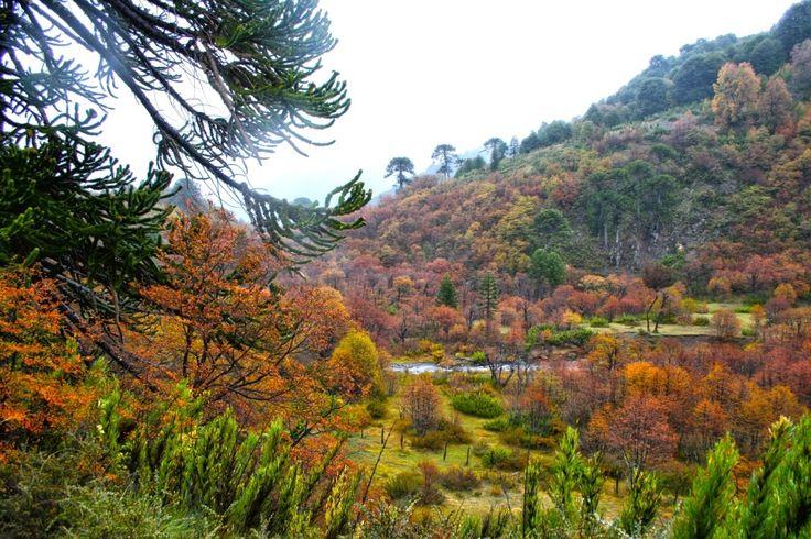 CHILE ES PAISAJE: RUTA MAPUCHOIKE, Malalcahuello, Araucanía.