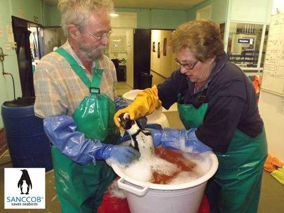 Washing of oiled African Penguin @SANCCOB