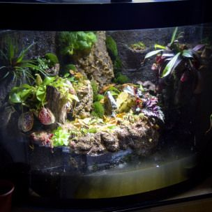 In this article I will describe the steps that I took to convert an empty corner aquarium into a functioning paludarium for carnivorous plants and later, freshwater shrimp. Equipment: Aquarium with…