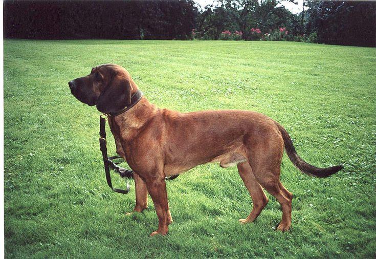 Mâle standard - Chien de rouge du Hanovre - Hannoverscher Schweißhund – Wikipedia