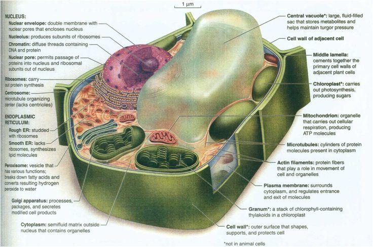 3d Plant Cell Diagram 3d Plant Cell Diagram From