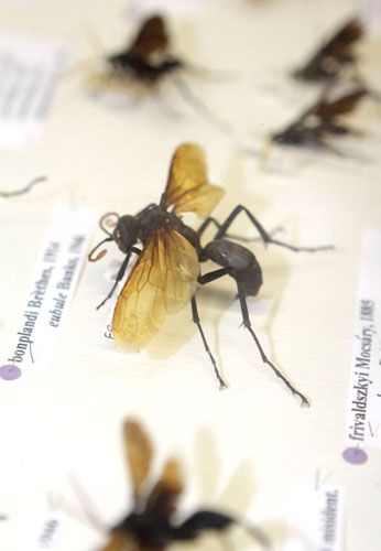 Spider-hunting wasp from our insect collections at National Museums Scotland